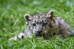 Baby snow leopard. This baby snow leopard is finding sth it's interested in Royalty Free Stock Photos