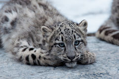 Baby snow leopard Royalty Free Stock Image