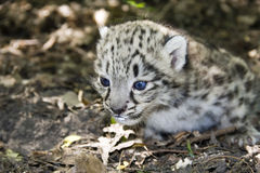 Baby snow leopard Stock Image