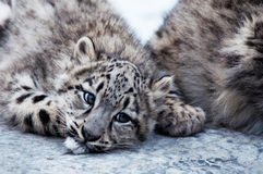Baby snow leopard Stock Photography