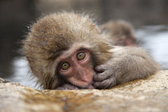Baby snow monkey. A wild baby snow monkey or japanese macaque in an onsen,jigokudani,nagano,japan royalty free stock image