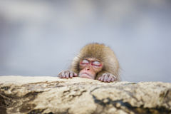 Baby Snow Monkey Asleep in the Steam stock photography