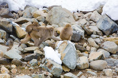 Baby Snow Monkey Hanging on Traveling Mom. A small brown fuzzy baby snow monkey holds on tightly to its mother`s rump, as the later moves quickly and swiftly stock images
