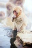 Baby Snow Monkey. Japanese Macaque at onsen hot springs of Nagano, Japan Stock Photo