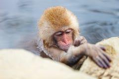 Baby Snow Monkey Royalty Free Stock Photography
