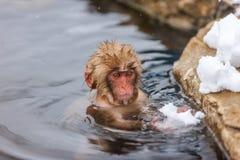 Baby Snow Monkey Stock Photography