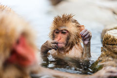 Baby Snow Monkey. Japanese Macaque at onsen hot springs of Nagano, Japan royalty free stock photography