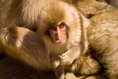 Baby snow monkey looking at camera. Cute Baby snow monkey looking at cameraJapanese Macaque, Jigokudani Monkey Park, Snow monkey stock photos
