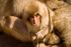 Baby snow monkey looking at camera Stock Photos