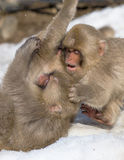 Baby Snow Monkey Royalty Free Stock Photos