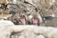 Baby Snow Monkeys Bathing on Natural Onser at Jigokudani Monkey Park, Nagano, Japan Stock Images