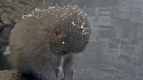 Baby snow monkeys sitting in the cold closeup, Jigokudani, Nagano, Japan. stock footage