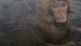 Baby snow monkeys sitting in the cold closeup, Jigokudani, Nagano, Japan. stock video footage