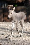 Baby somali wild ass Royalty Free Stock Photos