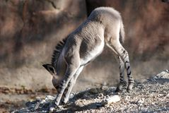 Baby somali wild ass leaning Royalty Free Stock Photo