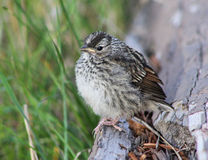 Baby Song Sparrow, Yellowstone National Park. A baby Song Sparrow bird is resting on a branch in Yellowstone National Park in Wyoming, USA stock photo
