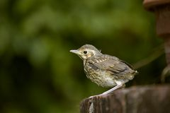 Baby Song Thrush. A Song Thrush chick on a maiden voyage Royalty Free Stock Photography