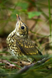 Baby song thrush on forest floor Royalty Free Stock Photography