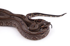 Baby Sonoran Desert Boa constrictor. On white background Royalty Free Stock Photo