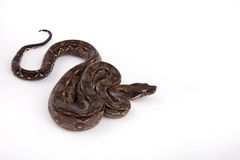Baby Sonoran Desert Boa constrictor. On white background Stock Image