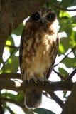 Southern Boobook, smallest owl in Australia stock photo