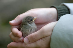 Baby sparrow. Girl hand holding a baby sparrow Stock Photography