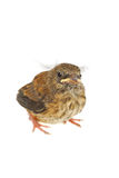 Baby sparrow. A photo of a baby little sparrow isolated on the white Stock Photography