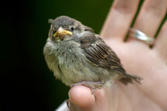 Baby sparrow. Girl hand holding a baby sparrow Royalty Free Stock Photos