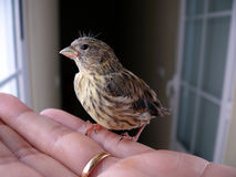 Baby sparrow. Hand holding a baby sparrow Royalty Free Stock Image