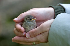 Baby sparrow Stock Images