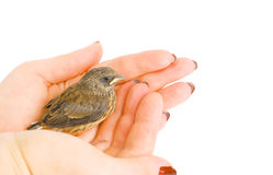 Baby sparrow in arm. Little baby sparrow sitting in woman's arms. Nice peaceful and safety concept Stock Image