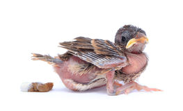 Baby sparrow bird is defecate on white background. Baby sparrow bird is defecate on white background Stock Photography