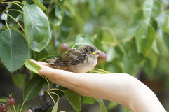Baby sparrow bird. In hands Royalty Free Stock Photo