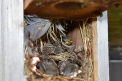 Baby birds in nest. Baby sparrow birds in a bird`s nest stock photography