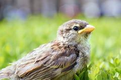 Baby sparrow on a bush. Shallow DOF Royalty Free Stock Photos
