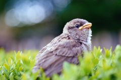 Baby sparrow on a bush. Text space Stock Photo