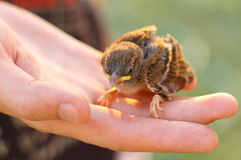 Baby Sparrow in Hand Stock Images