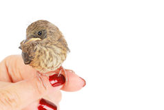 Baby sparrow on the human arm Royalty Free Stock Photos