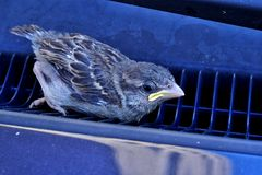 Baby sparrow (Passer Domesticus) stuck in car grating. Young, baby sparrow (Passer Domesticus) stuck in blue car front air grating, right under the front window Royalty Free Stock Photos