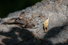 Baby Sparrow & x28;Passeridae& x29;. Resting on a Rock in the Sunshine Stock Photos
