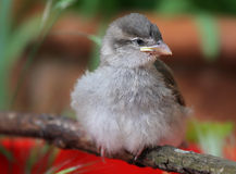 Baby Sparrow Stock Image