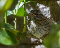 Baby sparrow in the sunshine. Baby sparrow scared and perched behind a tropical plant in Costa Rica Royalty Free Stock Photo