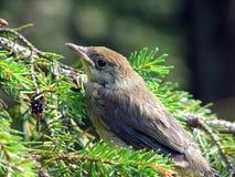 Baby sparrow Stock Photos