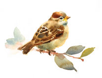 Baby Sparrow Watercolor Bird Sitting on a branch with Leaves Illustration Hand Drawn isolated on white background royalty free illustration