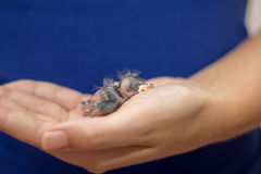 Baby Sparrow. Woman with blue shirt holding a baby sparrow on her hand Royalty Free Stock Image