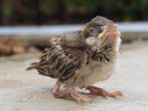 The baby sparrows Stock Photos