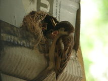 Baby Sparrows with a Male Sparrow royalty free stock image