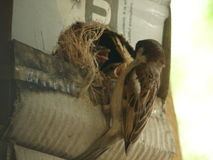 Baby Sparrows with a Male Sparrow royalty free stock photos