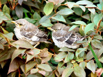 Baby Sparrows Stock Image