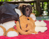 Baby Spectacled Flying Fox Bat Kissing Christmas Reindeer. An orphaned Spectacled Flying Fox named Brad kisses a plush reindeer during at a wildlife rescue Royalty Free Stock Photography